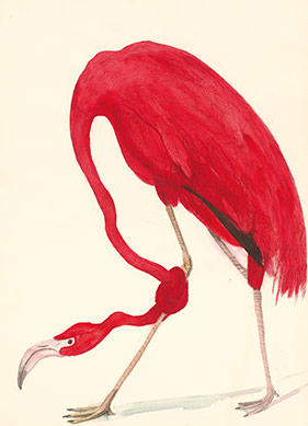 Kendi Topuğuna Sıkan Kırmızı Flamingo