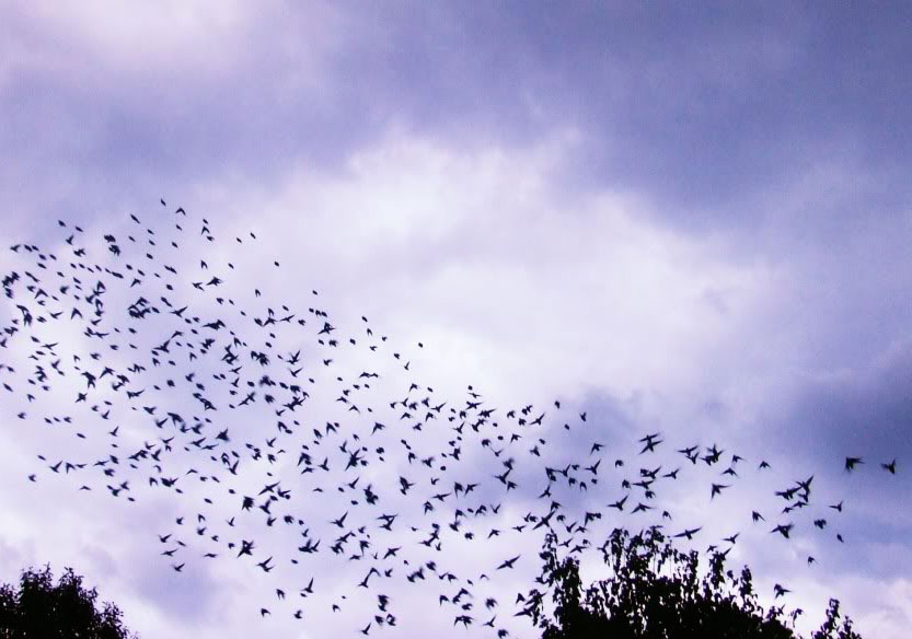 Yaşamlarımızı Kuşatan Kuş Sürülerinin Hikayesi