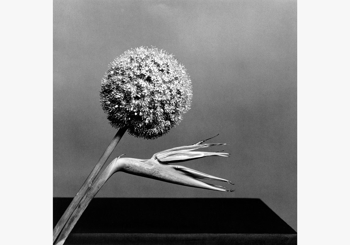 Birds of Paradise, 1970Silver gelatin20x16 inchesEdition AP 2/2© Robert Mapplethorpe Foundation.Used by permission.