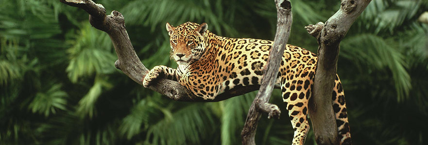 Algı Köprüsünde: Jaguara Dokunmak